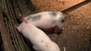 Откорм свиней на добавках,поросята месяц с небольшим.Fattening pigs supplements piglets month low.