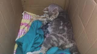 Роды шотландской кошки Симы. Первое кормление котят. Новорожденные котята.