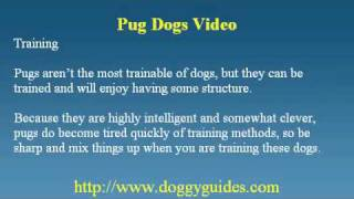 Black Pug Puppies - Some Useful Information & Vital Facts To Know