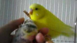 Father budgie taking care of his chick