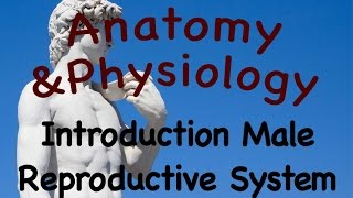 Male Reproductive System : Introduction To The Male Reproductive System (19:01)