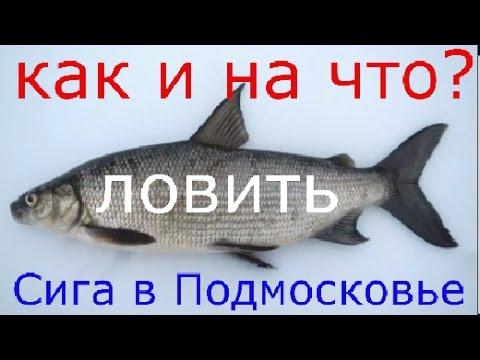 платная рыбалка сиг подмосковье