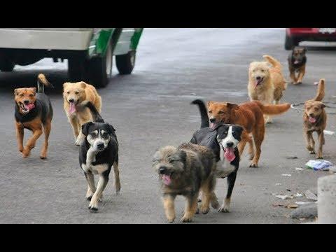 Սպանդ կամ ստերջացում. թափառող շների ...