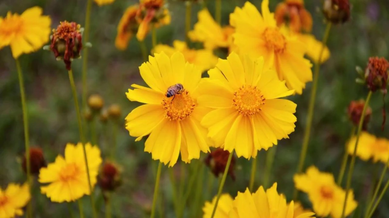 Facts About Coreopsis Flowers Youtube