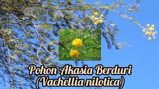 Pohon Akasia Berduri (Vachellia nilotica) YouTube Videos