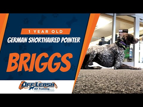 Briggs, German Shorthaired Pointer | Off Leash Northern Virginia | Dog Trainer