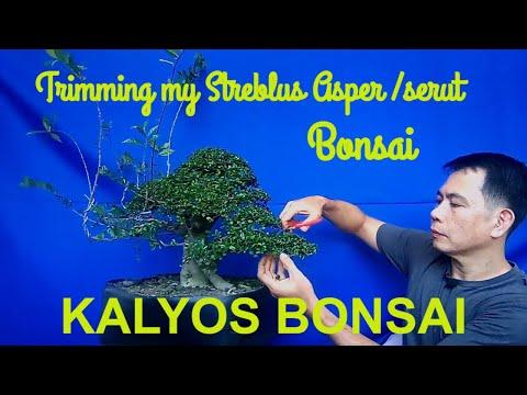 HOW TO TRIM A BONSAI / TRIMMING MY STREBLUS ASPER BONSAI / PAANO MAG TRIM NG KALYOS NA BONSAI