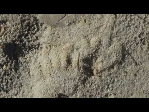 Strange Giant Foot Prints and Other Prints Appear In The Sand Out Of Nowhere. 6/20/2018 USA