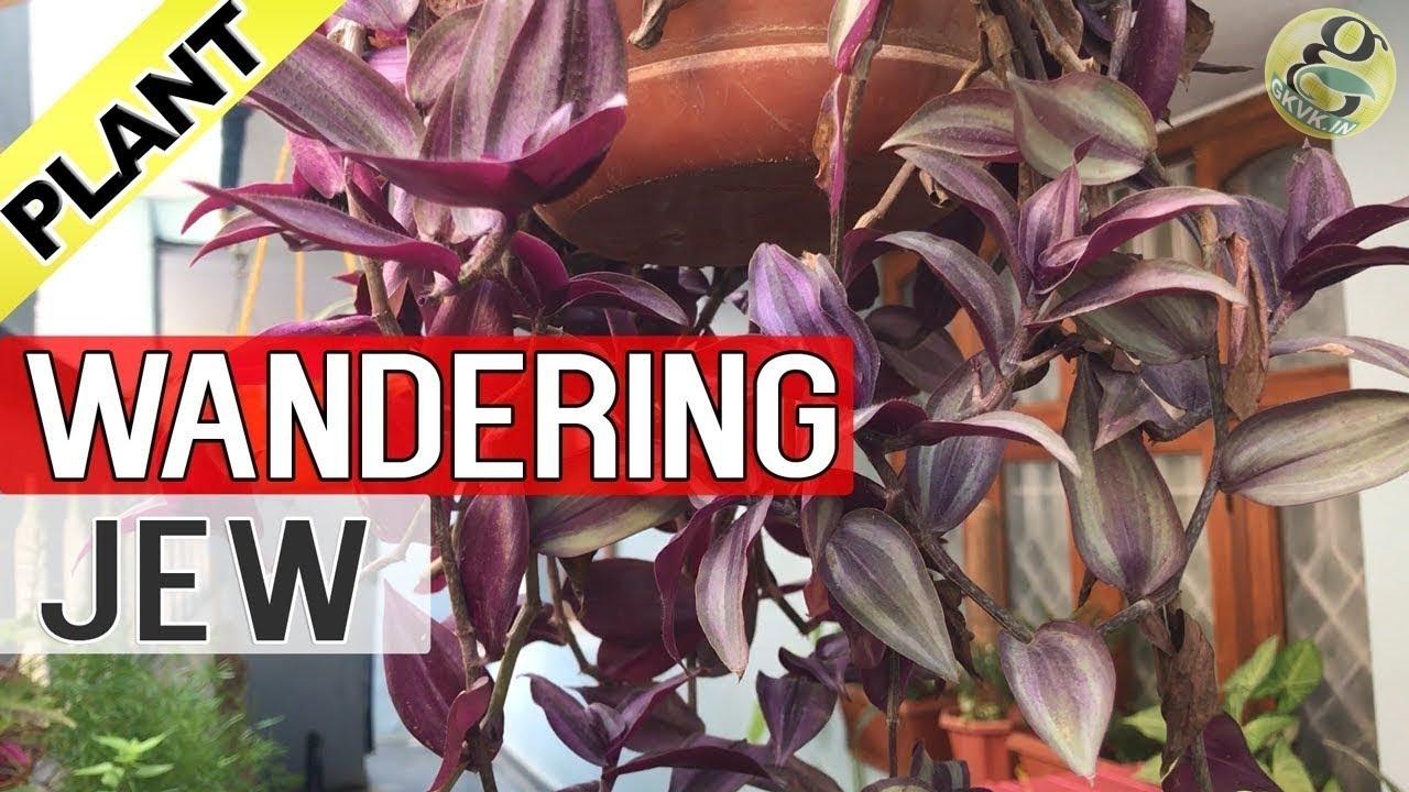5 Wandering Jew Tradescantia Zebrina Plant Cuttings