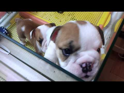 Micro teacup  English Bulldog puppies for sale