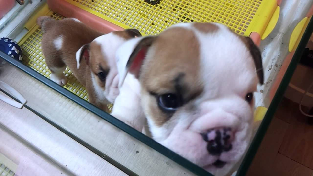 english bulldog puppies for sale without papers English bulldog tips: english bulldog puppies no papers english bulldog facts, bulldogs' lovers site  characteristics of a bulldog puppies for sale your.