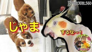 すぐ怒るオカメインコ・エマが衝撃的!犬もタジタジ・・・猫の怒った声...