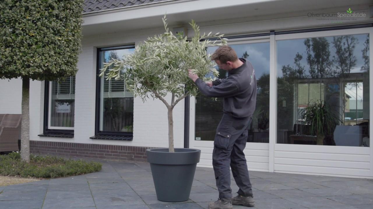 Ganz und zu Extrem Olivenbaum schneiden - OlivenbaumSpezialist.de - YouTube #SY_81