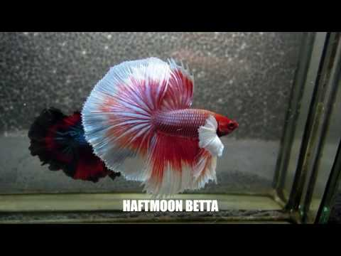 Most Beautiful Types of Betta Fish - Betta  Fish Names