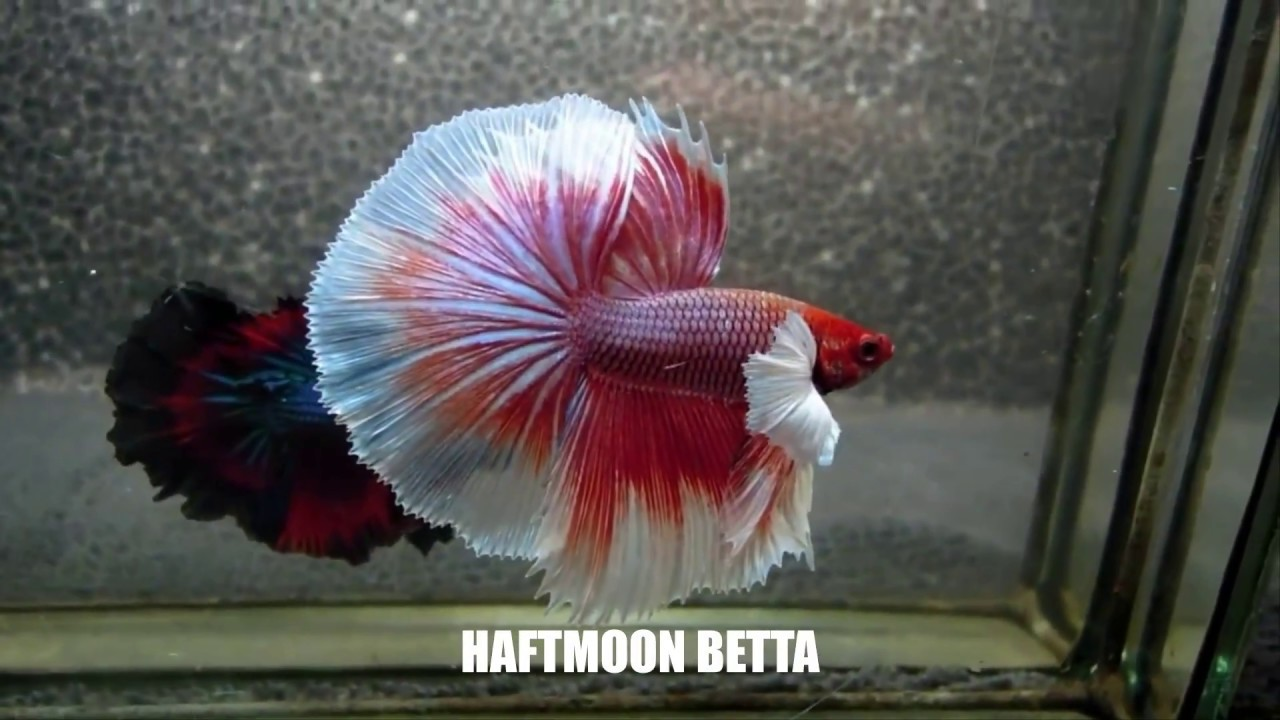 Badass betta fish names
