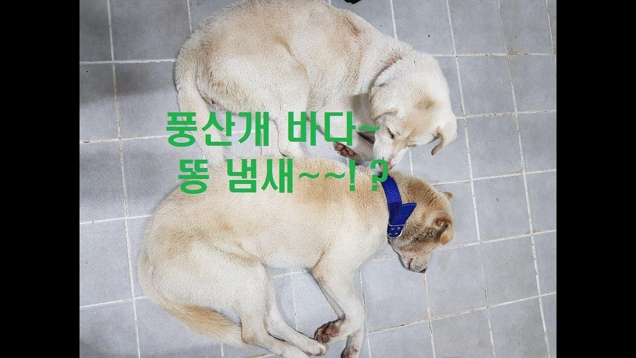 풍산개 바다 몸에서 똥 냄새나서 목욕 시켰어요~Poongsan Dog Poop Smell/190 귀농귀촌 ...