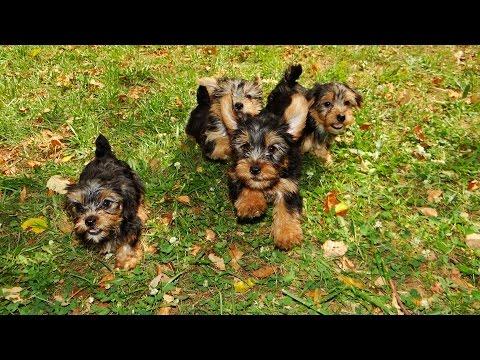 Yorkshire Terrier, Puppies For Sale, Atlanta, Georgia, Area