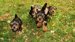 Yorkshire Terrier, Puppies For Sale, Atlanta, Georgia, Area