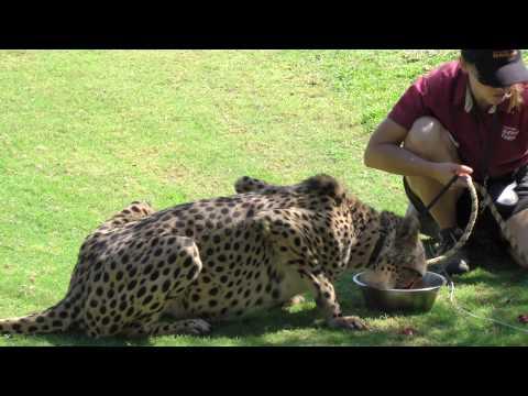 Amazing Cheetah run 100 meters in 5.1 seconds