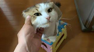サマーカットすると普通でも可愛くなる猫   A cat that became even more cute after the summer cut.