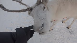 ehi ma quella renna bianca