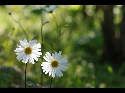 Hoa Cúc Họa Mi - YouTube