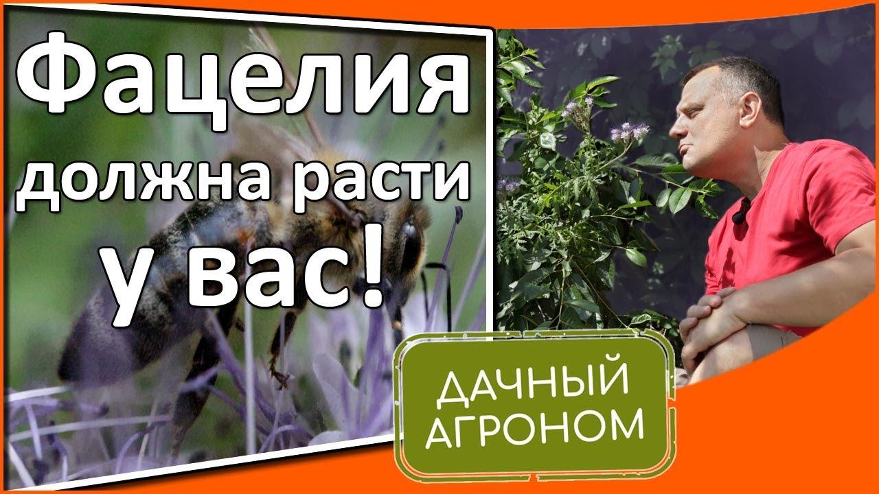 Фацелия: удобрение, красота и польза! Сей фацелию для улучшения почвы