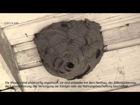 """WESPENNEST - Wespen bauen am Nest """"Zeitraffer"""""""