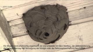 WESPENNEST - Wespen bauen am Nest