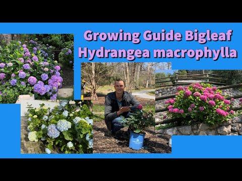 Complete Growing Guide To Bigleaf Hydrangea Macrophylla: How To Plant U0026 Care #hydrangea #gardening