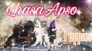 Lhasa Apso Cute Little Puppies