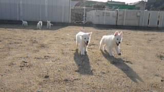 ホワイトスイスシェパードの仔犬生後54日目 父:ホワイトスイスシェパ...
