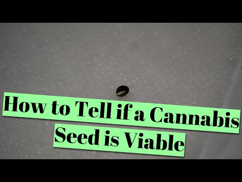How to Tell if a Cannabis Seed is Viable (Good for Germination)