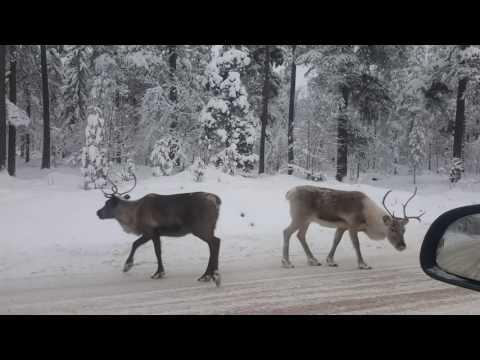 More reindeers today in western Sweden