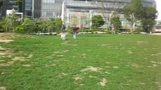 http://blog.livedoor.jp/naturial/ 保護犬サルーキのサラちゃん。やさ...