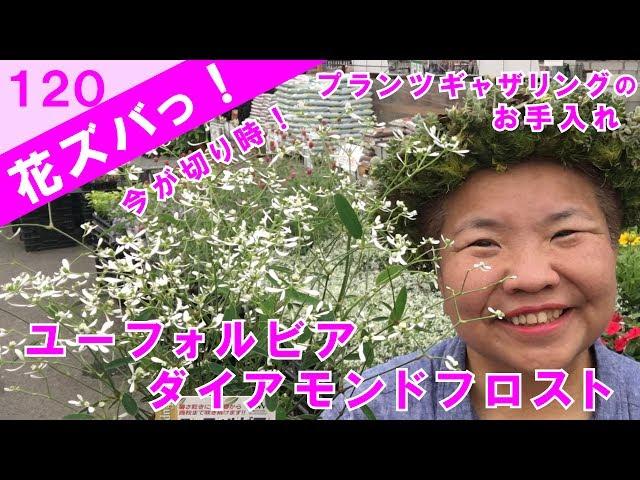 ユーフォルビアダイアモンドフロスト切り戻しをするなら梅雨明け間近の今!プランツギャザリングのお手入れ【花ズバっ】120旬の花とその使いかた紹介/花創人ガーデニング教室