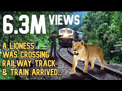 शेरनी रेल पटरी क्रॉस कर रही थी और ट्रेन आ गई Lioness was crossing railway track & train arrived