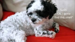 Cute Shih Tzu Poodle (shih-poo) Dog