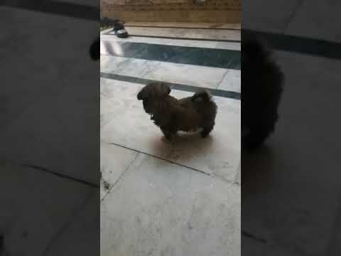 Lhasa Apso pups for sale at Ludhiana chandigarh patiala Amritsar nabha jagraon dhuri mohali