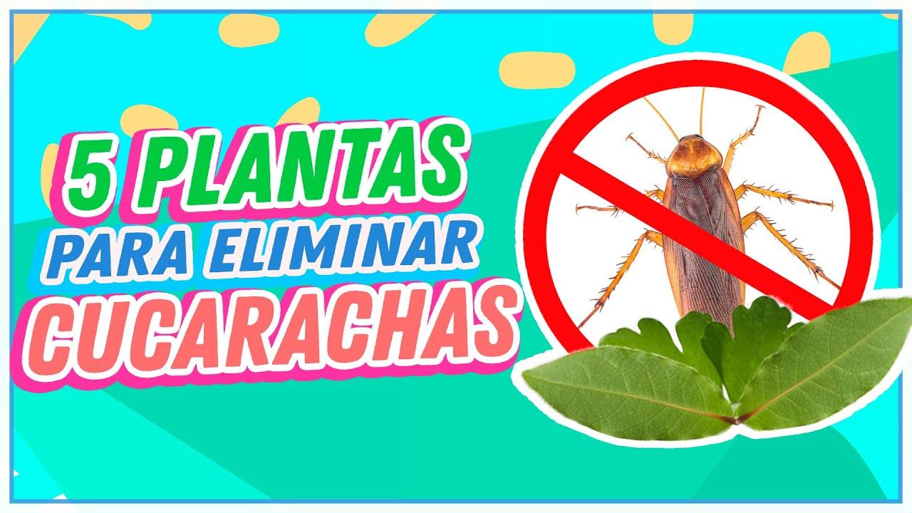 Plantas Para Eliminar Las Cucarachas De Tu Casa Youtube
