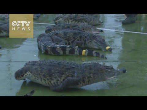Download Youtube: Guangxi police seize frozen Siamese crocodiles