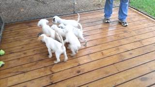 11 week old English Setter puppies on point
