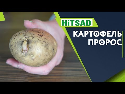 Почему Картофель пророс ✔️ Хранение Картофеля