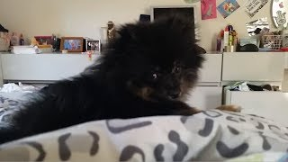 Cute Fluffy Puppy Jack Hides From The Camera!
