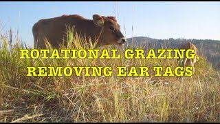Rotational Grazing, Removing Ear Tags (Farm Update Sep 2018)