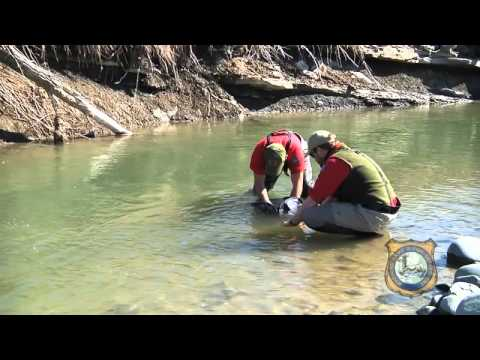 Tracking Yellowstone Cutthroat Trout