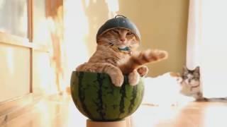 Коты веселятся  Смешные кошки