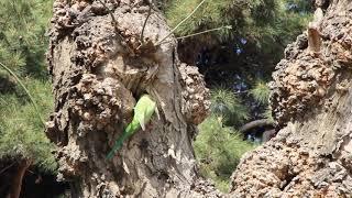Ожереловый попугай Крамера (Psittacula krameri) в Баку