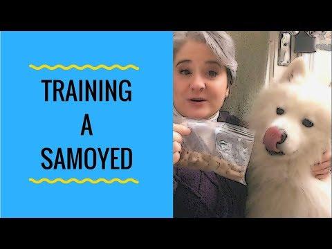 Training a Stubborn Samoyed - Yeti's Place