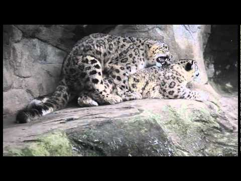 Mating Snow Leopards Zoo Z 252 Rich Youtube
